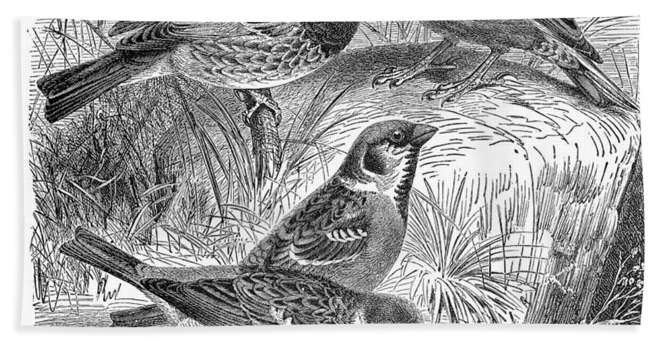 19th Century Beach Towel featuring the photograph Group Of Sparrows by Granger