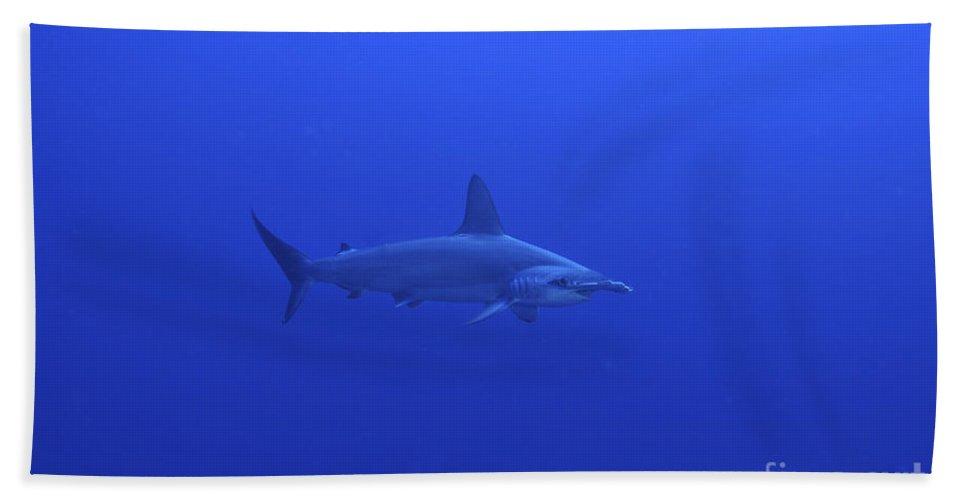 Australia Beach Towel featuring the photograph Hammerhead Shark, Christmas Island by Mathieu Meur