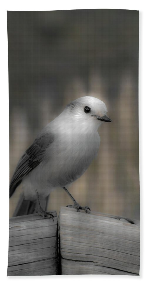 Americas Beach Towel featuring the photograph Happy Gray Jay by Roderick Bley