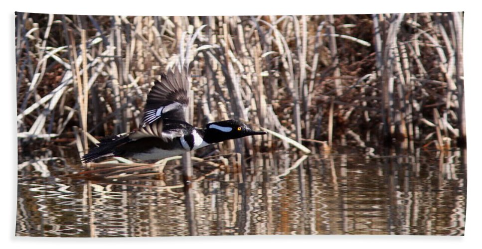 Hooded Mergansers Beach Towel featuring the photograph Headed To Texas by Travis Truelove