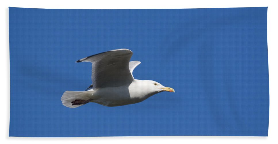 Herring Gull Beach Towel featuring the photograph Herring Gull In Flight by Howard Kennedy