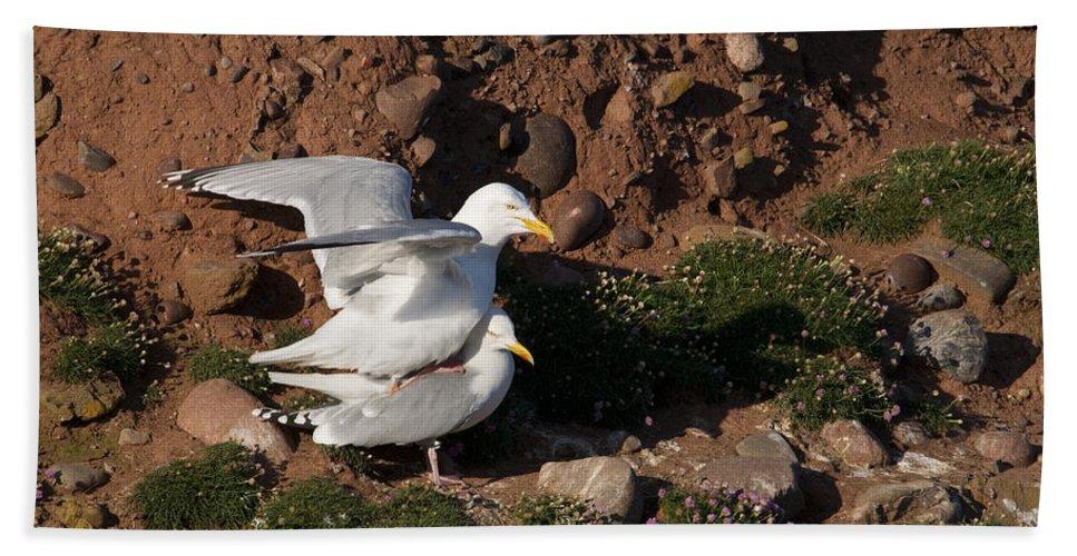 Herring Gull Beach Towel featuring the photograph Herring Gulls Mating by Howard Kennedy