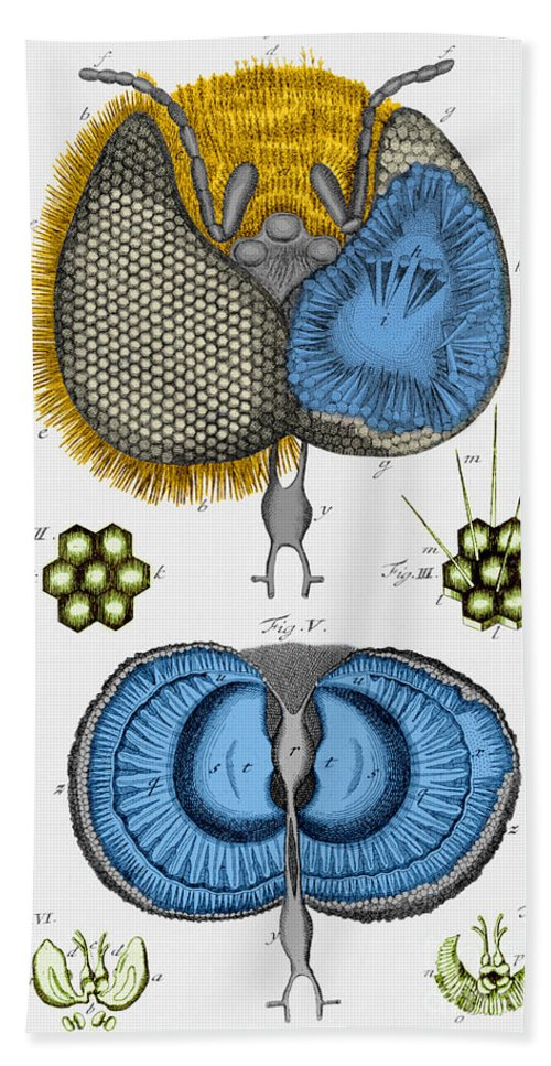 Insect Beach Towel featuring the photograph Historical Illustration Of Honey Bee Eye by Photo Researchers