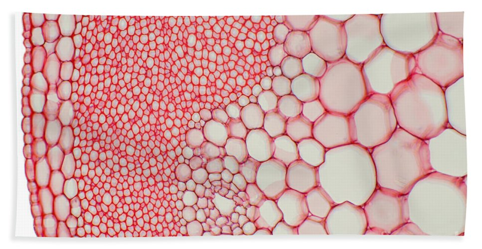 Science Beach Towel featuring the photograph Hogweed Stem by Ted Kinsman