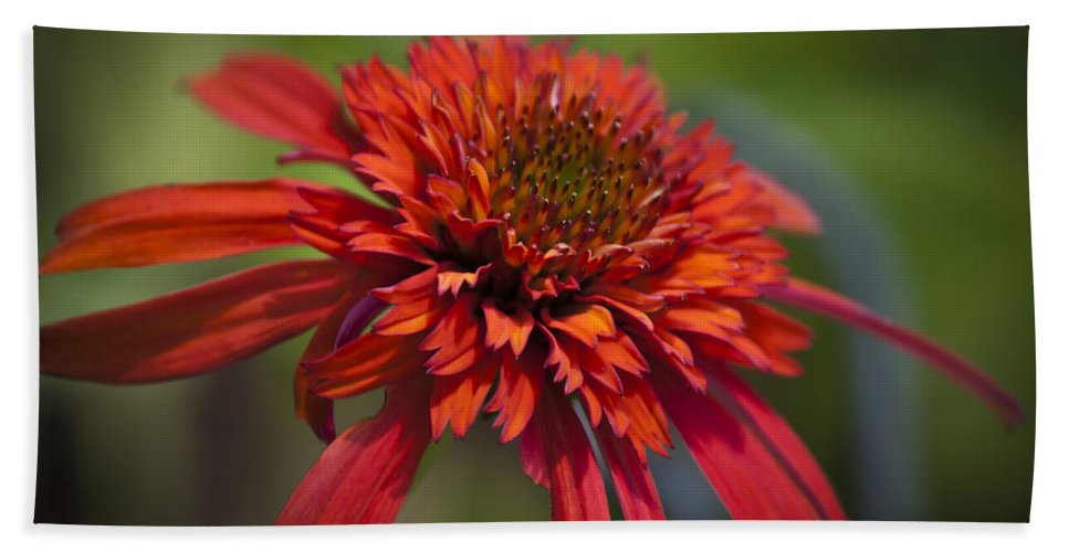 Coneflower Beach Towel featuring the photograph Hot Papaya Hybrid Coneflower by Teresa Mucha