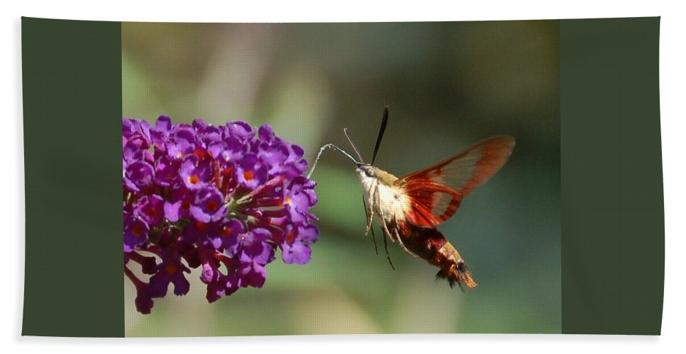 Hummingbird Moth Beach Towel featuring the photograph Hummingbird Moth by Randy J Heath