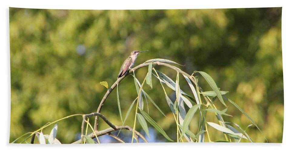 Bird Beach Towel featuring the photograph Hummingbird Resting In The Willow by Ericamaxine Price