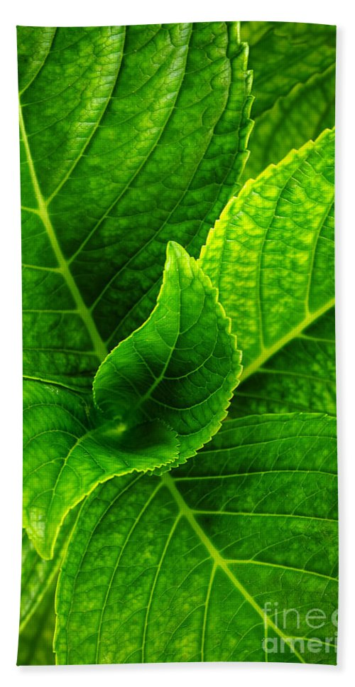 Background Beach Towel featuring the photograph Hydrangea Leaves by Carlos Caetano