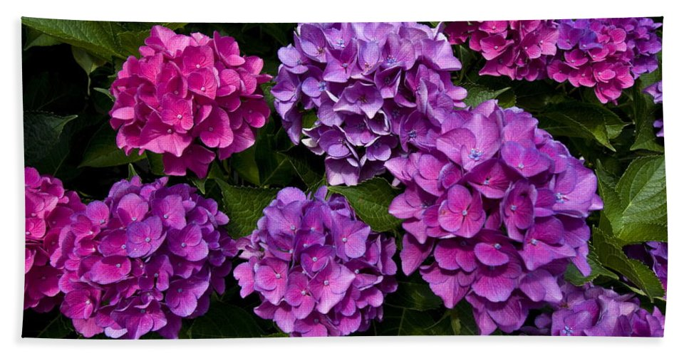 Lavender Beach Towel featuring the photograph Hydrangeas by Sally Weigand