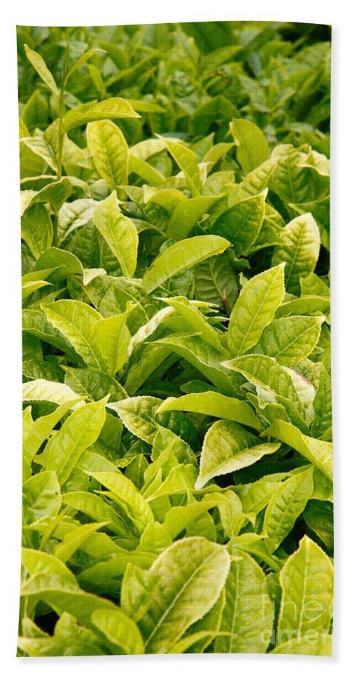 Tea Garden Beach Towel featuring the photograph Indian Variety Of Tea by Gaspar Avila