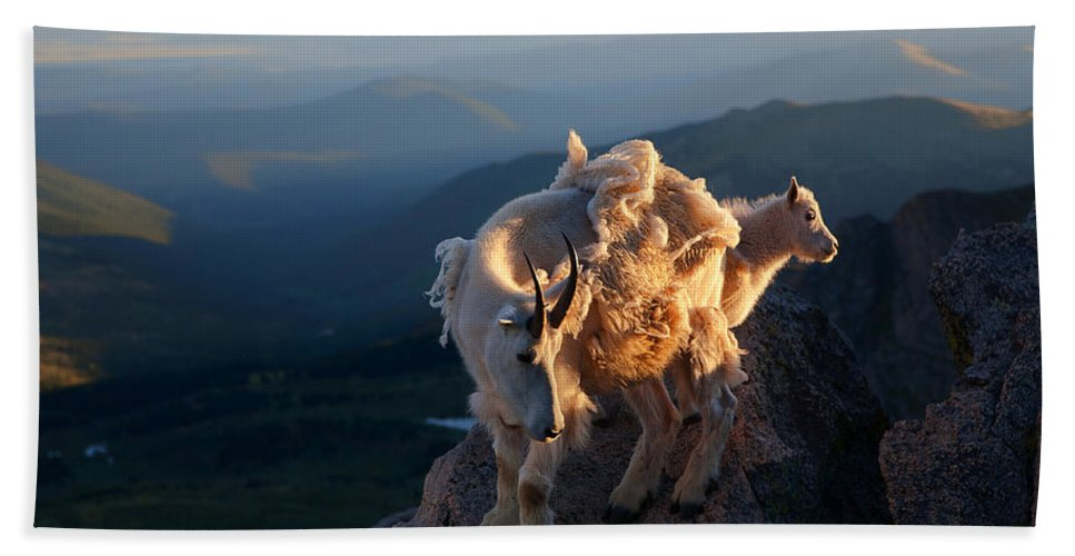 Mountain Goats; Posing; Group Photo; Baby Goat; Nature; Colorado; Crowd; Baby Goat; Mountain Goat Baby; Happy; Joy; Nature; Brothers Beach Towel featuring the photograph Two Faces West by Jim Garrison