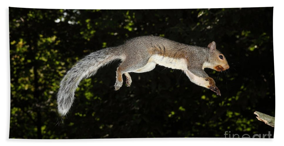 North American Fauna Beach Towel featuring the photograph Jumping Gray Squirrel by Ted Kinsman