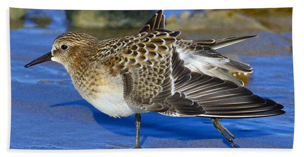 Baird's Sandpiper Beach Towel featuring the photograph Juvenile Baird's Sandpiper by Tony Beck