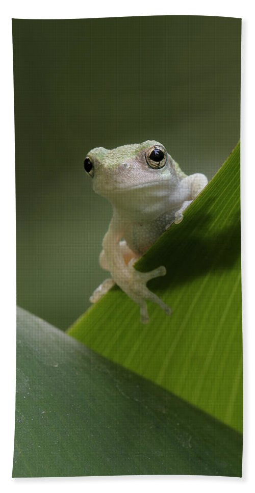 Grey Treefrog Beach Towel featuring the photograph Juvenile Grey Treefrog by Daniel Reed