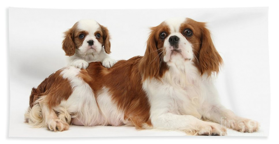 Animal Beach Towel featuring the photograph King Charles Spaniels by Mark Taylor