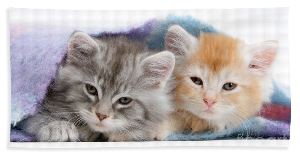 Animal Beach Towel featuring the photograph Kittens Under Blanket by Mark Taylor