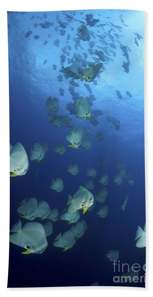 Batfish Beach Towel featuring the photograph Large School Of Batfish, Christmas by Mathieu Meur