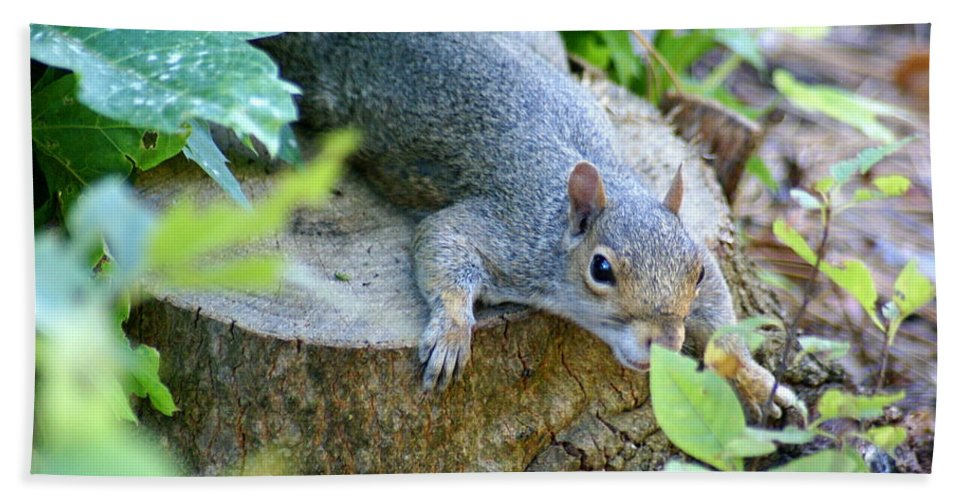 Squirrel Beach Towel featuring the photograph Laying Low by Ben Upham III