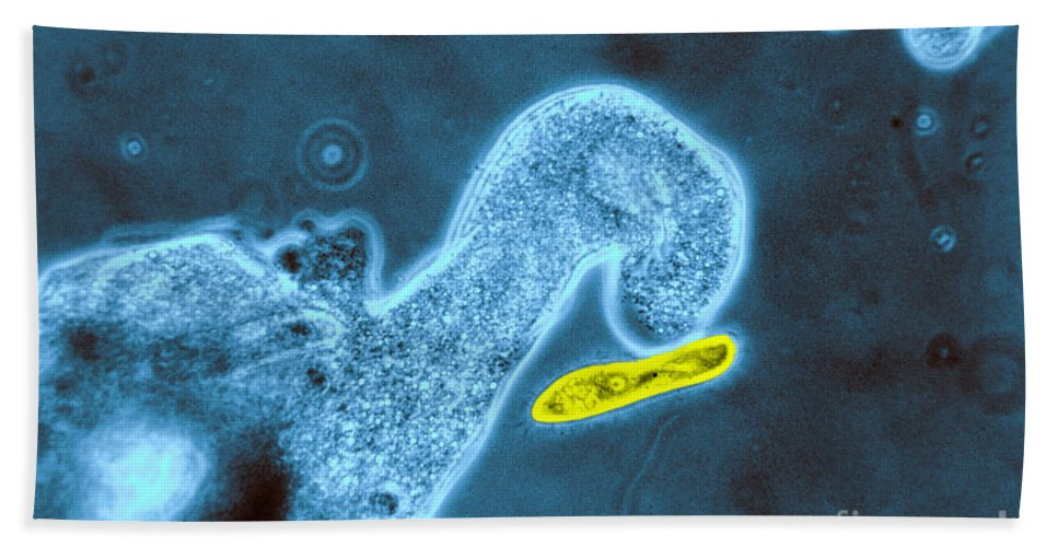 Amoeba Beach Towel featuring the photograph Light Micrograph Of Amoeba Catching by Eric V. Grave