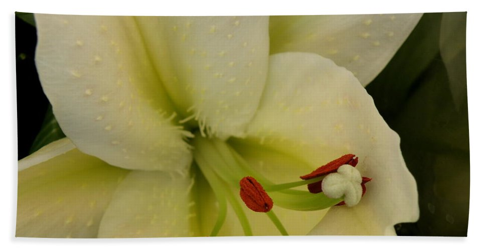 Lily Beach Towel featuring the photograph Lily White by Lainie Wrightson