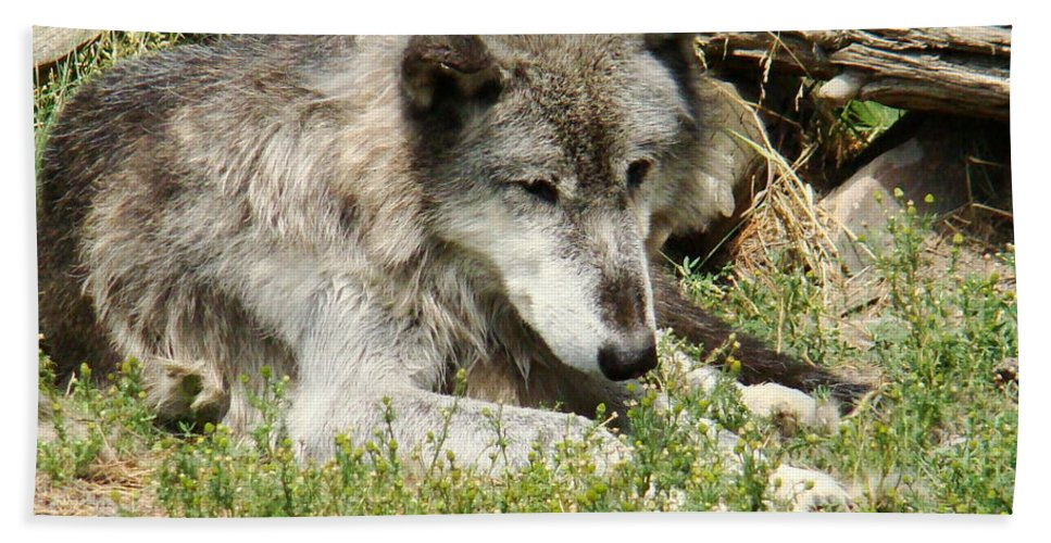 Wolf Beach Towel featuring the photograph Lone Wolf by Michael MacGregor