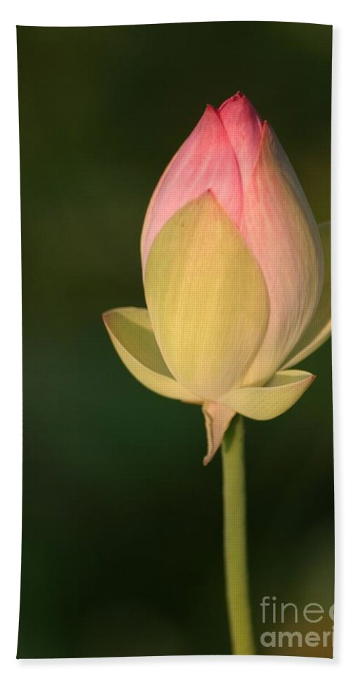 Lotus Beach Towel featuring the photograph Lotus Bud by Living Color Photography Lorraine Lynch