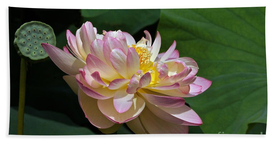 Lotus Flower And Seed Pod And Leaves Beach Towel For Sale By Byron
