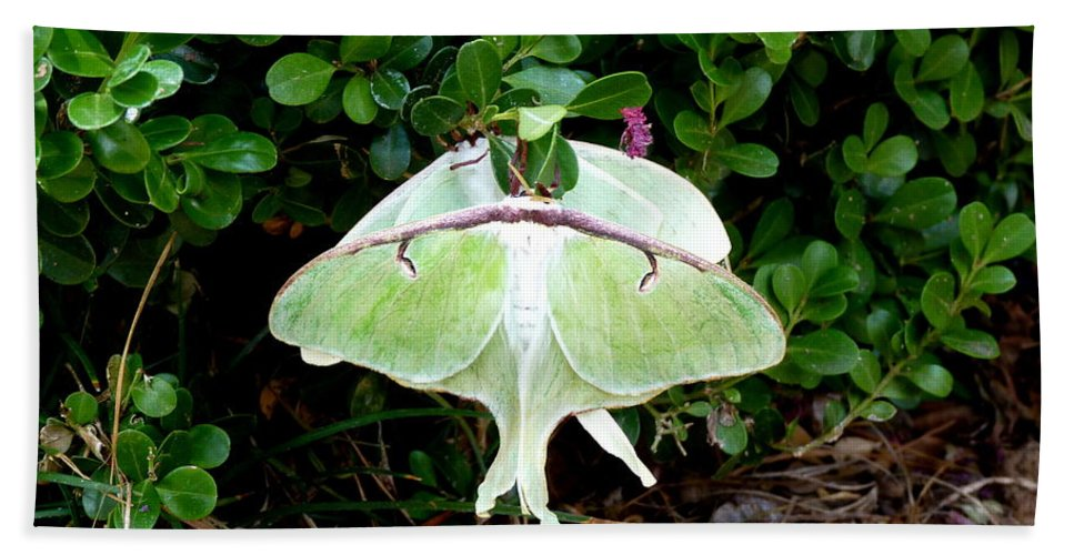 Luna Beach Towel featuring the photograph Luna Moths' Afternoon Delight by Carla Parris