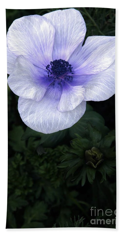 Poppy Beach Towel featuring the photograph Mascara And Lace Anemone by Byron Varvarigos