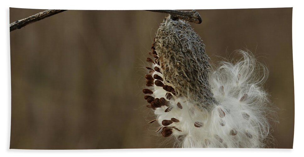 Asclepias Syriaca Beach Towel featuring the photograph Milkweed Seed Pod Opening by Daniel Reed