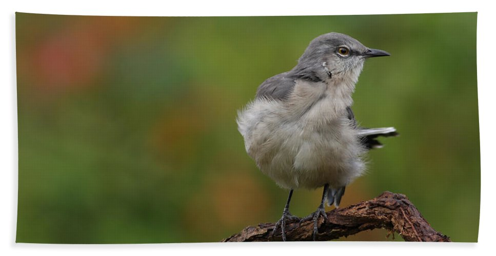 Mocking Bird Beach Towel featuring the photograph Mocking Bird Perched In The Wind by Daniel Reed