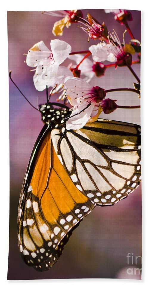 California Beach Towel featuring the photograph Monarch On A Flower by Darcy Michaelchuk