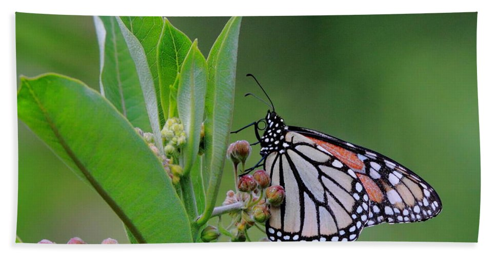 Butterflies Beach Towel featuring the photograph Monarch On Milkweed by Bruce J Robinson