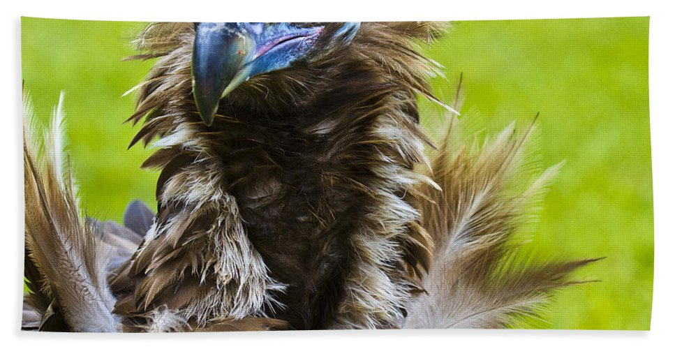 Black Vulture Beach Towel featuring the photograph Monk Vulture 5 by Heiko Koehrer-Wagner