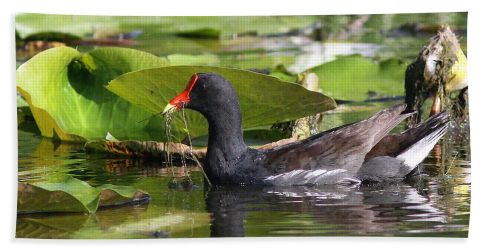 Nature Beach Towel featuring the photograph Moor Hen - Red Nose by Travis Truelove