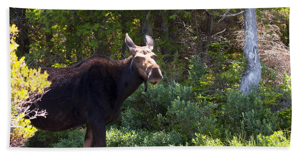 Moose Beach Towel featuring the photograph Moose Baxter State Park 4 by Glenn Gordon