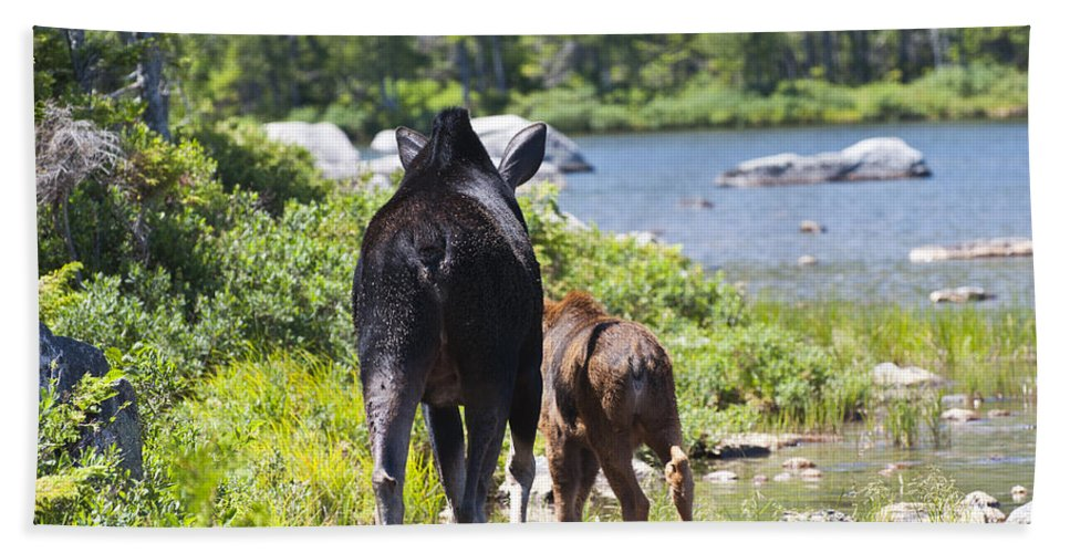 Moose Beach Towel featuring the photograph Moose Ends Baxter State Park Maine by Glenn Gordon