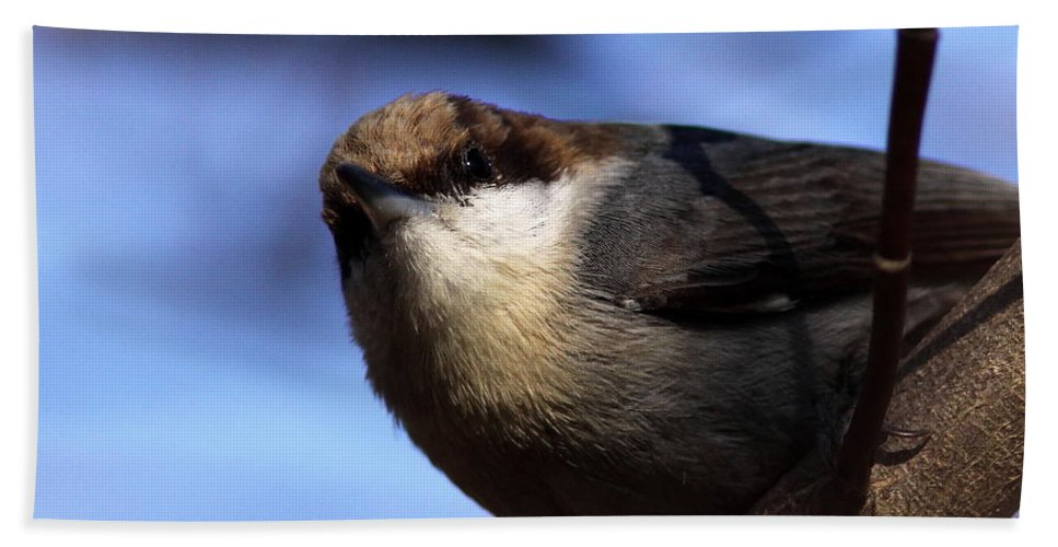 Brown-headed Nuthatch Beach Towel featuring the photograph Mr. Finally by Travis Truelove