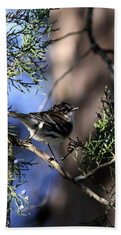 Pine Warbler Beach Towel featuring the photograph My Good Side by Travis Truelove