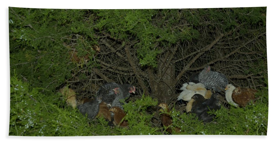Chicken Beach Towel featuring the photograph That Poor Cedar Tree by Donna Brown