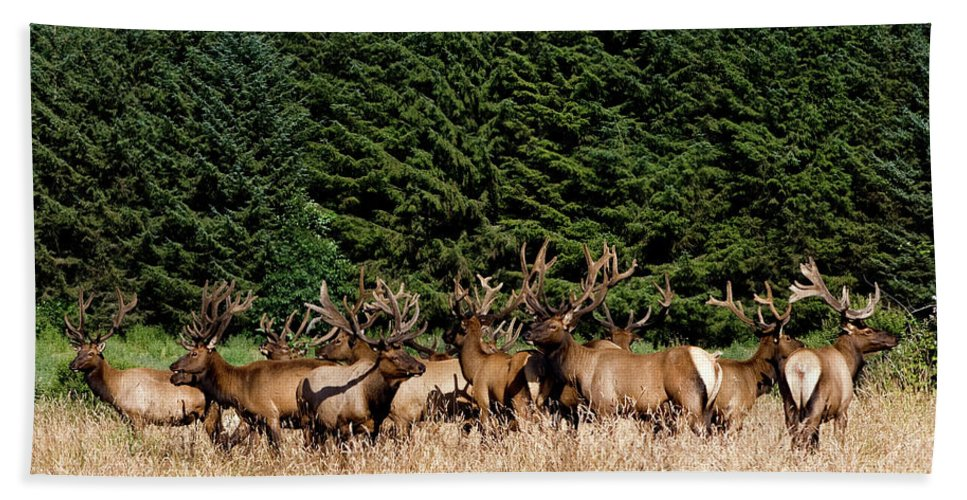 Elks Beach Towel featuring the photograph Northcoast Elk Along The 101 by Lorraine Devon Wilke