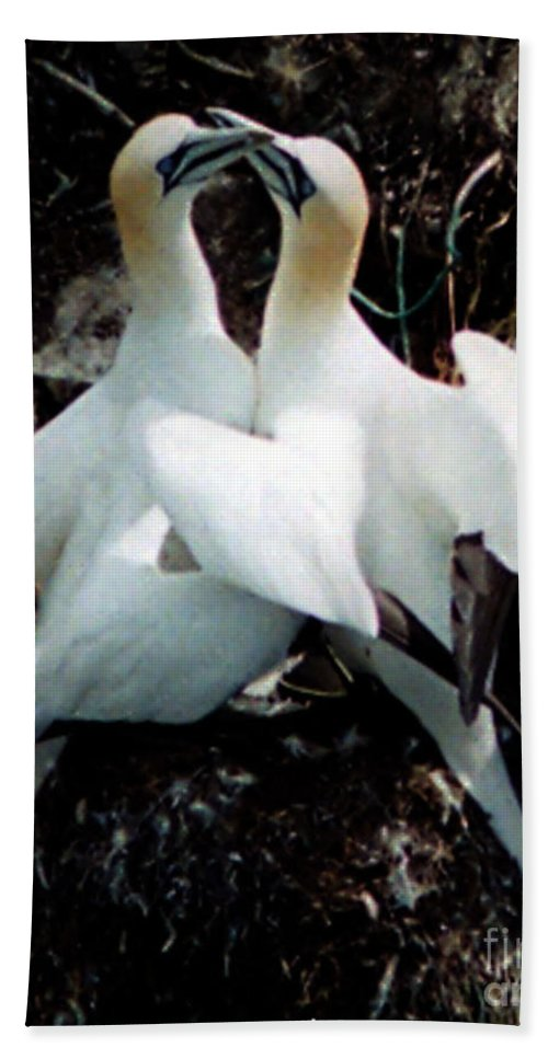 Birds Beach Towel featuring the photograph Northern Gannets by Donna Brown