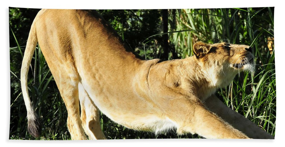 Lion Beach Towel featuring the photograph Oh That Feels Good by David Lee Thompson