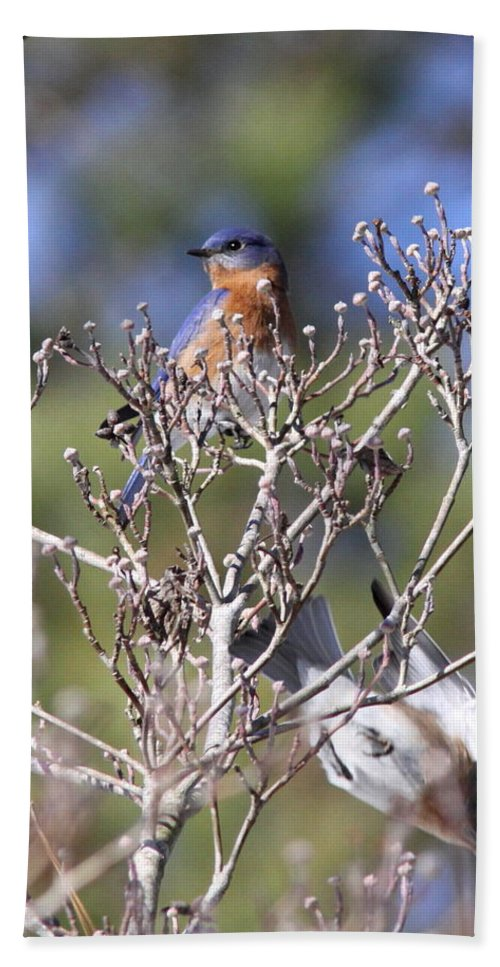 Eastern Bluebird Beach Towel featuring the photograph One More Berry by Travis Truelove