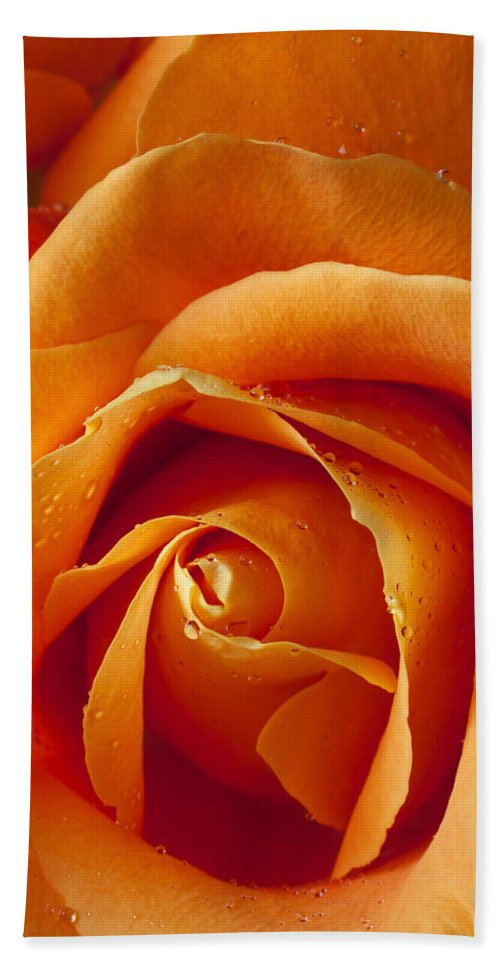 Orange Beach Towel featuring the photograph Orange Rose Close Up by Garry Gay