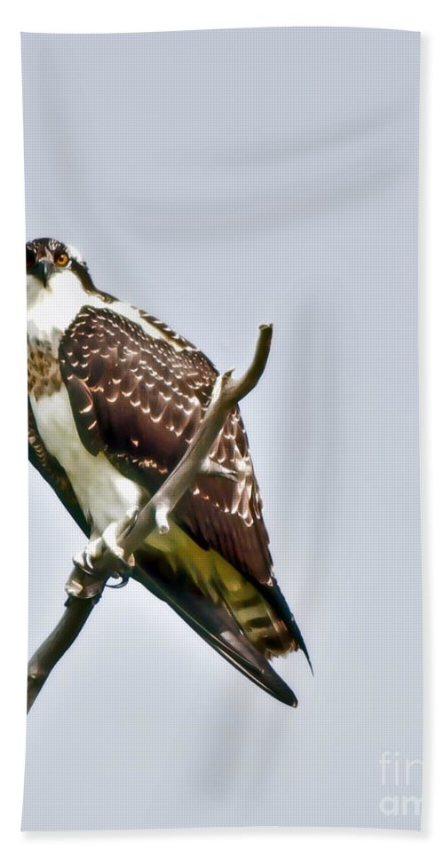 Osprey Beach Towel featuring the photograph Osprey by Robert Bales