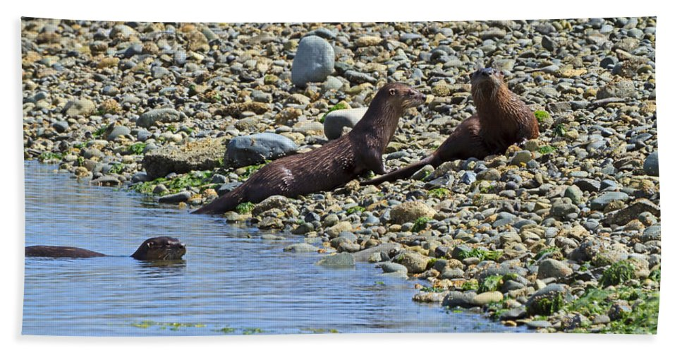 Otter Beach Towel featuring the photograph Otters On The Beach by Louise Heusinkveld