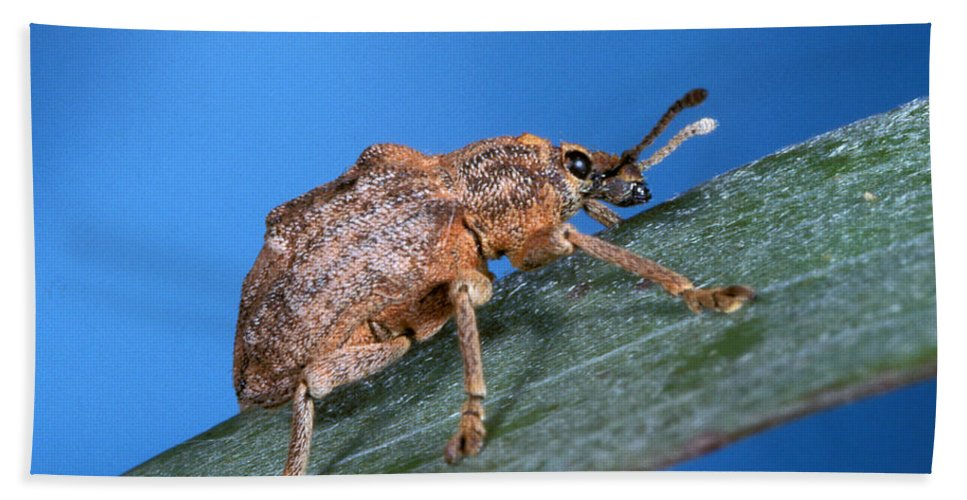 Oxyops Vitiosa Beach Towel featuring the photograph Oxyops Vitiosa Leaf Weevil On Melaleuca by Science Source