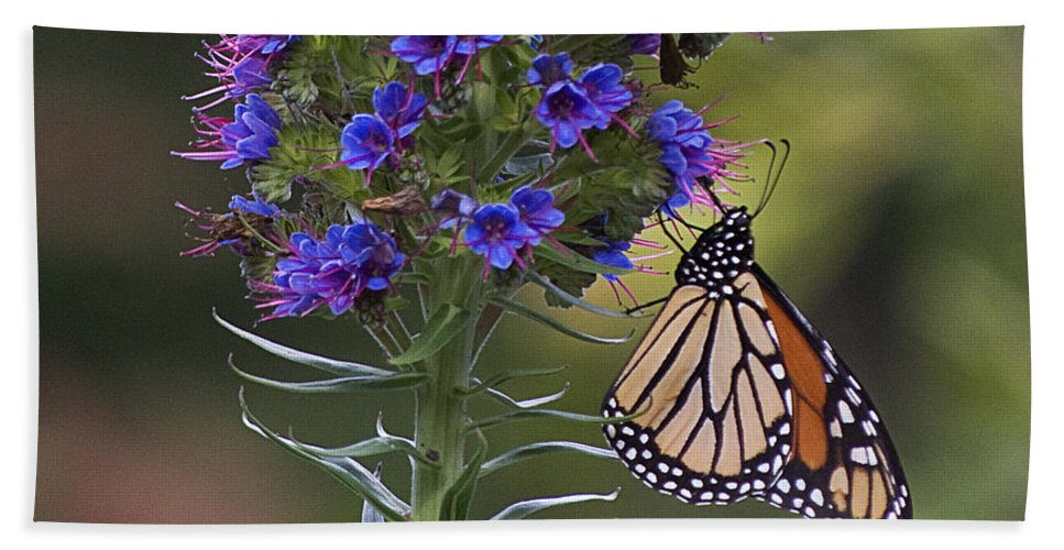 Monterey Beach Towel featuring the photograph Pacific Grove Monarch by Jim And Emily Bush