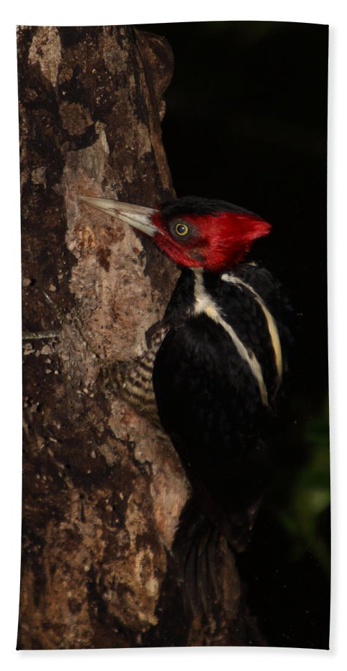 Woodpecker Beach Towel featuring the photograph Pale-billed Woodpecker by Bruce J Robinson